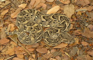 Puff-adder / Poffadder