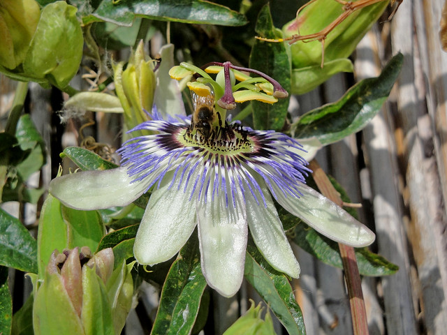Passiflora caerulea (con ape), Sony DSC-W270