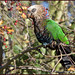 Hawk-headed Parrot (image 1 of 4) by Full Moon Images