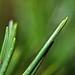 Les pointes vertes