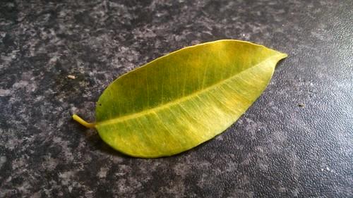 Ficus benjamin problem 14053616578_bce10c87ee