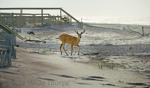 Deer on the beach at Davis Park, Fire Island
