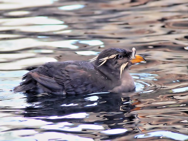 Rhinoceros Auklet Sealife Ctr 20140620