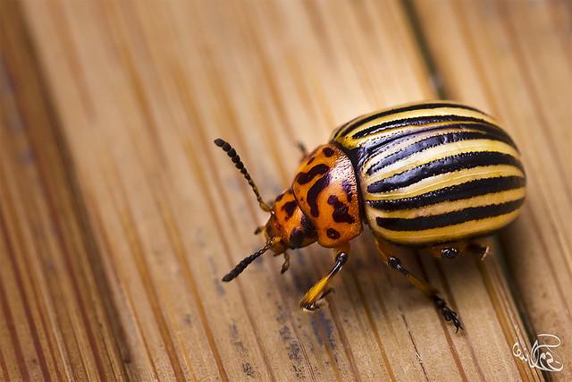 خنفساء (( Colorado potato beetle )) من فصيلة خنافس الأوراق Chrysomelidae من جنس Leptinotarsa