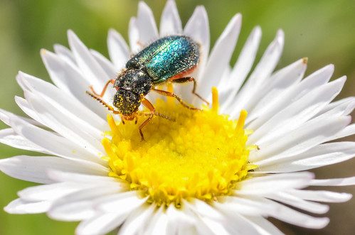 <p><i>Collops</i>, sp., Melyridae<br /> Ferry Point Landing, Alberta, Canada<br /> Nikon D5100, 105 mm f/2.8<br /> June 22, 2014</p>