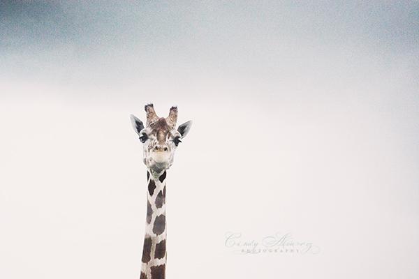 blog giraffe