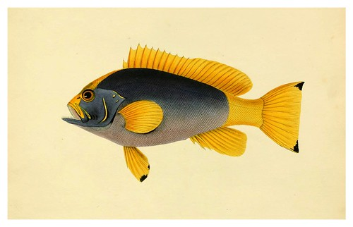011- Perca Flave- Purpurea-A selection … the fishes …of Ceylon-1834 John B. Whitchurch