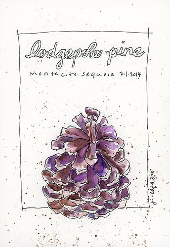 lodgepole pine cone