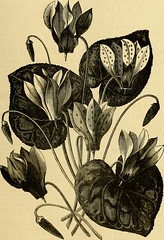 """Image from page 816 of """"The Gardeners' chronicle : a weekly illustrated journal of horticulture and allied subjects"""" (1874)"""