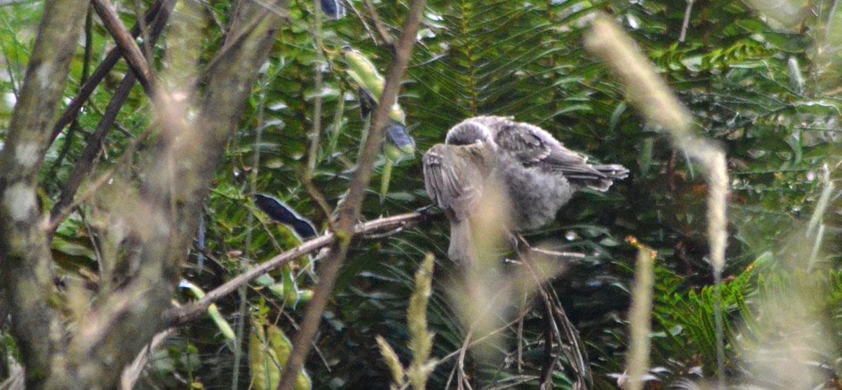 Pacific-slope Cowbird