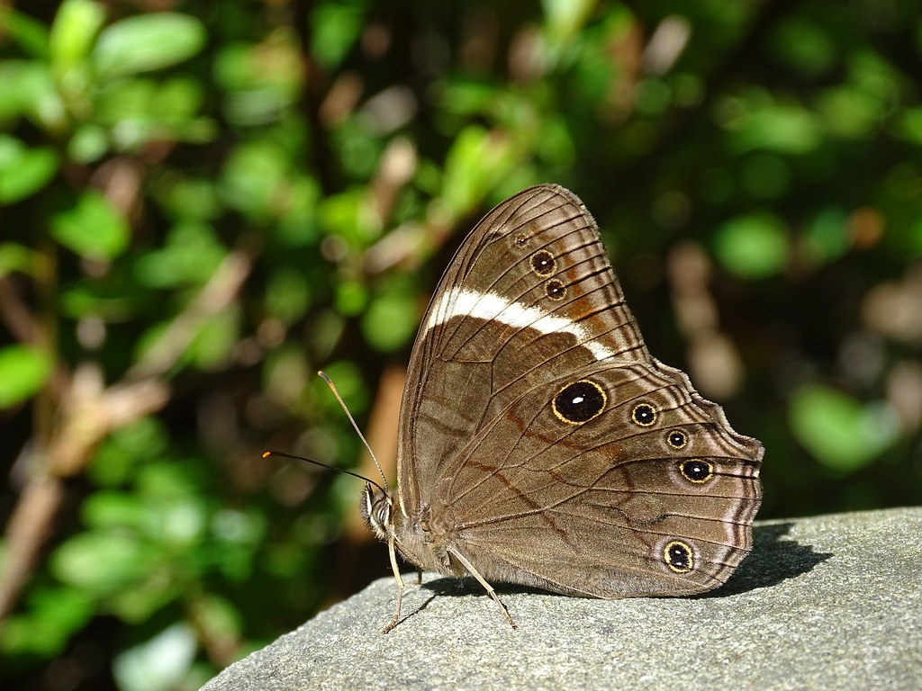 Straight-banded Tree brown Butterfly (Flickr blog - Wildlife Wednesday: Butterfly wings 8/21/2014)