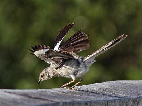 Northern Mockingbird molting 2-20140718