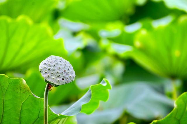Honghu Park Lotus Festival 洪湖公園荷花節