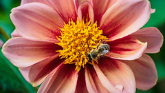 Dahlia with Bee; Dahlie mit Biene (16:9)