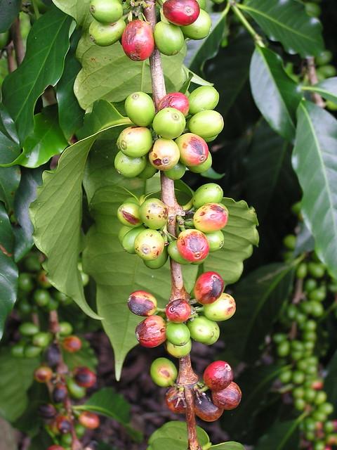Coffea arabica definition meaning for Coffea arabica