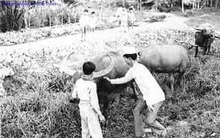 Dinh Tuong 1972 - water buffalo - Photo by Gene Whitmer