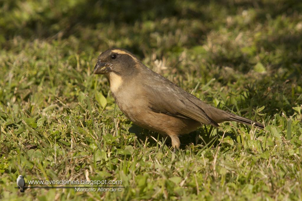 Pepitero de collar (Golden-billed Saltator) Saltator aurantiirostris