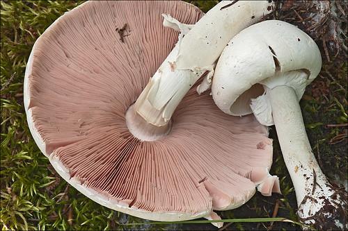 Шампиньон лесной гладенький (Agaricus silvicola)Photo by Amadej Trnkoczy  on Flickr Автор фото: Amadej Trnkoczy (Slovenija)