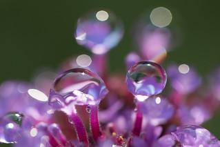 August Water Droplet Macro