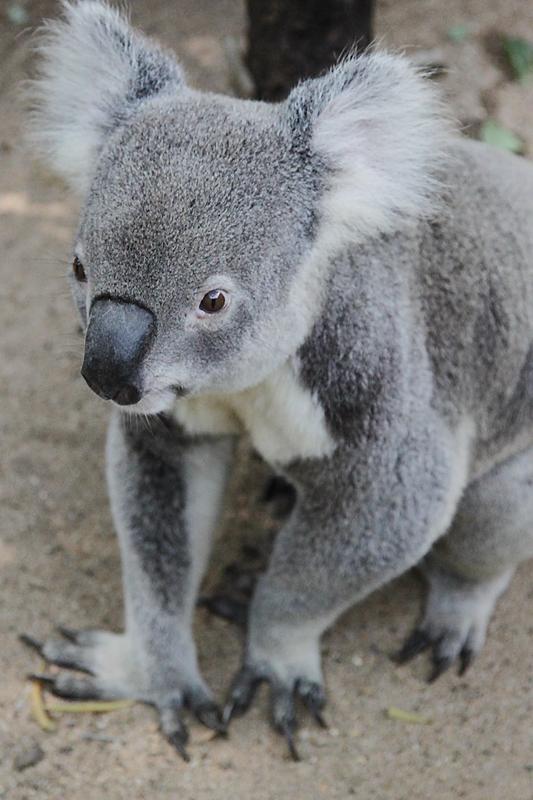 KoalaSanctuary6