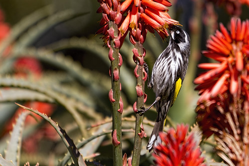 New Holland Honeyeater 2014-08-04 (_MG_4957)