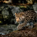 Leopard Cub In The Light