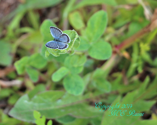"new blue nature butterfly native wildlife insects bugs grassland preserve tailed jersey"" "" ""eastern blue"" preserve"" township"" ""franklin ""negrinepote"