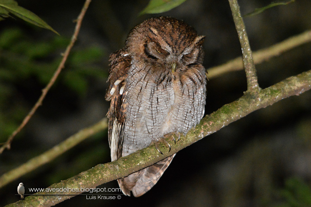 Alilicucú común (Tropical Screech-Owl) Megascops choliba