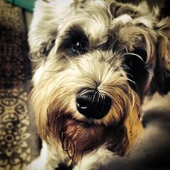 Umlaut's sweet faced friend Franz #quornflour #umlaut #schnauzer #schnoodle #friend #stpaul #dogsofinstagram