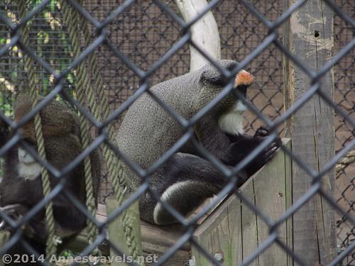 De Brazza's Monkeys, Cape May Zoo, New Jersey