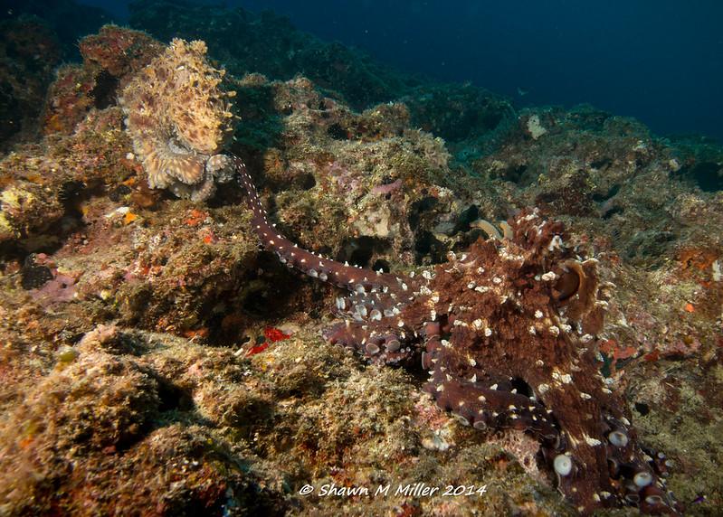 Octopus mating ritual - Manzamo, Okinawa