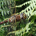 Small photo of Common Hawker close-up