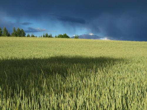 summer sky cloud green field estonia baltics estland viro estonie triticale эстония εσθονία triticosecale