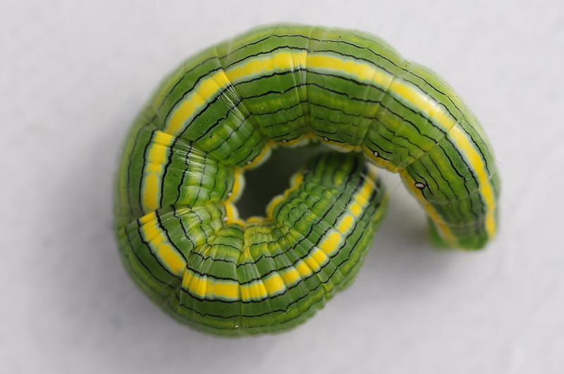 Green and Yellow Caterpillar