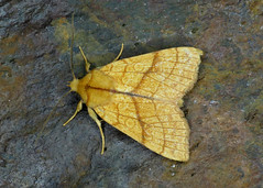 2271 Orange Sallow - Xanthia citrago