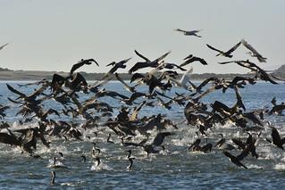 Windy Cove Morro Bay, CA 'feeding frenzy-ette' takes flight