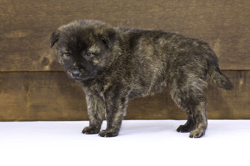 Nori-Litter2-30Days-Puppy1(male)d