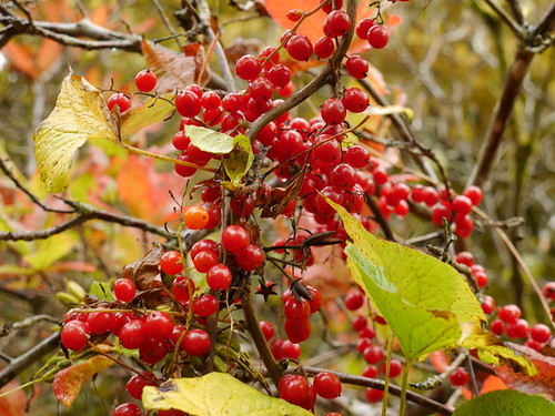 Autumn Berries (2)