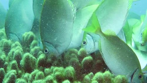 臭肚魚清理葉形軟珊瑚上的雜藻。(圖:海生館)