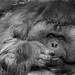 orangutan by WWW.FACEBOOK.COM/DAVIDHUNTPHOTOGRAPHY1982