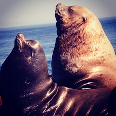 #two species of Sea Lions side by side #racerocks Stellar Sea Lions and California Sea Lions. The bigger of the two is Stellar from the Arctic