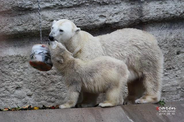 Eisbären Giovanna & Nobby 2014_09_10 461