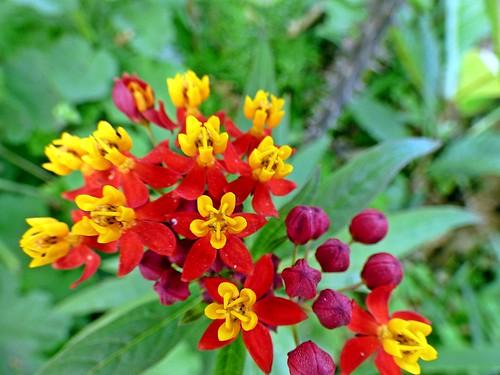 Asclepias curassavica con flores