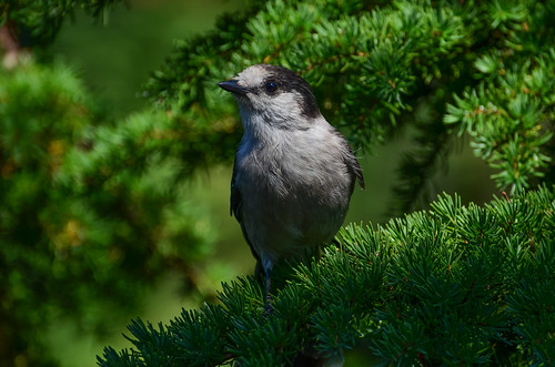<p><i>Perisoreus canadensis</i>, Corvidae<br /> Cypress Mountain, West Vancouver, British Columbia, Canada<br /> Nikon D5100, 70-300 mm f/4.5-5.6<br /> August 23, 2014</p>