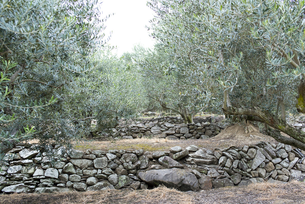 olive woods
