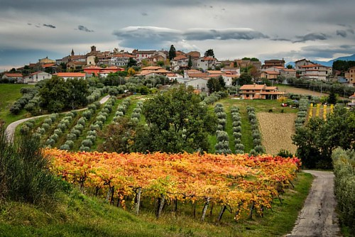 Fall Vineyards on a cloudy evening @emidiopepe in Abruzzo, Italy. Notice the olive trees in the center background, the unique grasses, and hardwood trees all around the brightly covered Pergola Vineyards. This biodiversity helps create the extraordinary g