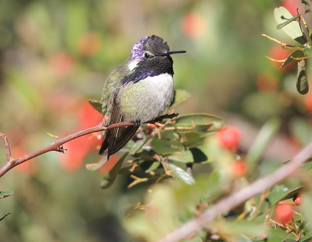 Costa's Hummingbird, Nikon COOLPIX P510