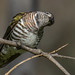 shining bronze-cuckoo (Chrysococcyx lucidus) -7052 by rawshorty
