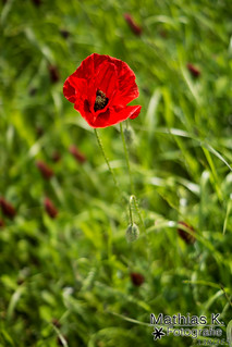 Mohnblüte | Projekt 365 | Tag 138