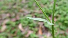 unbranched dandelion stem leaf